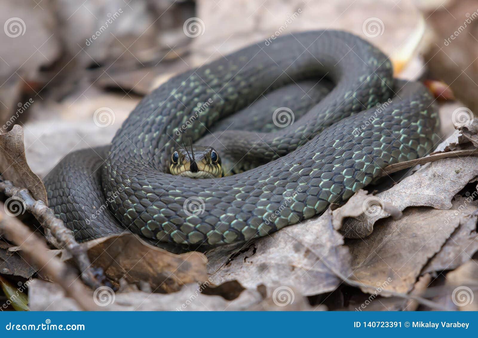 Piccola menzogne del serpente di erba anellata sulle foglie della foresta e sul pavimento della lettiera mentre attaccando la sua
