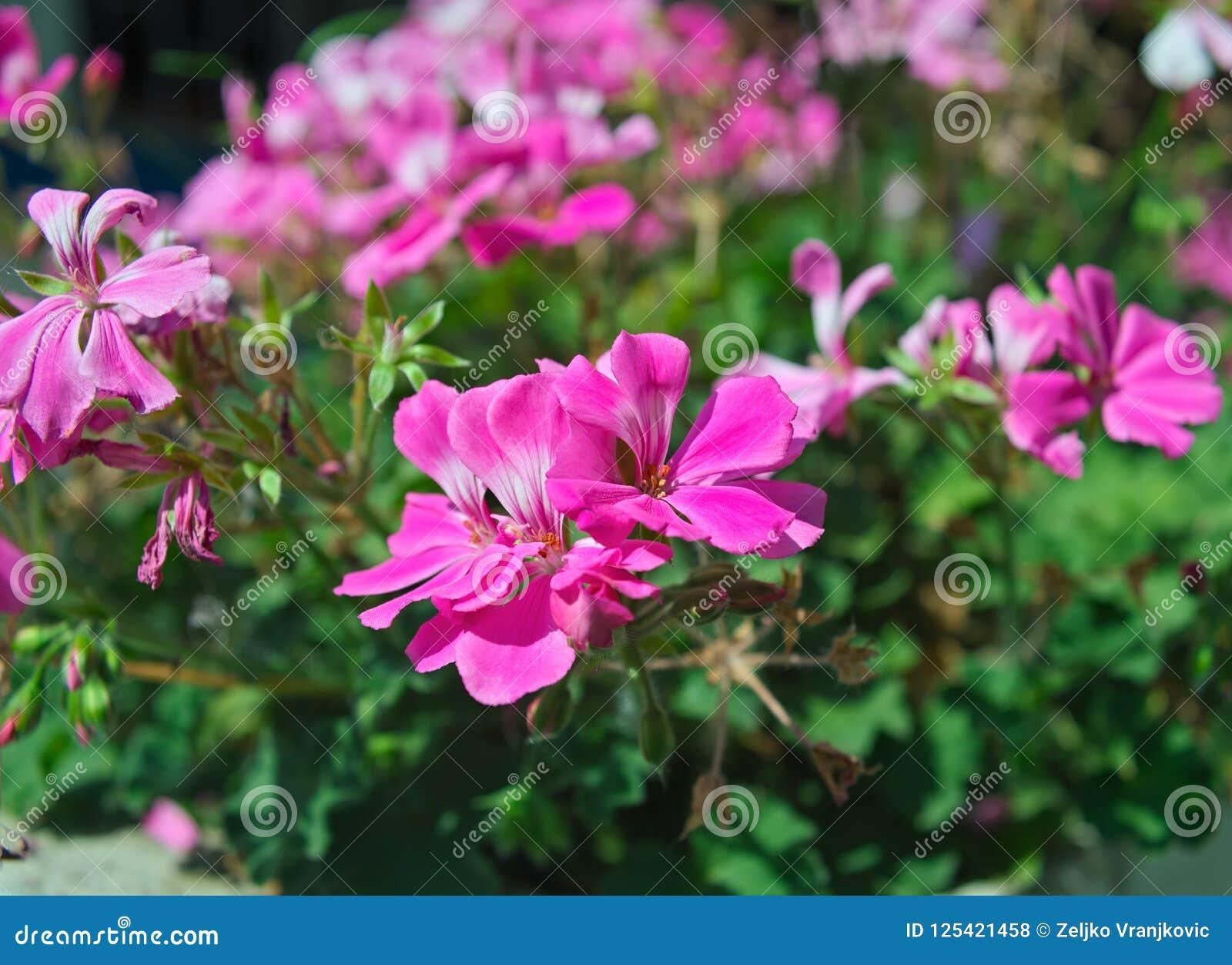 Piante Da Appartamento Con Fiore Rosa.Piccola Pianta Da Appartamento Che Fiorisce Con I Fiori Rosa