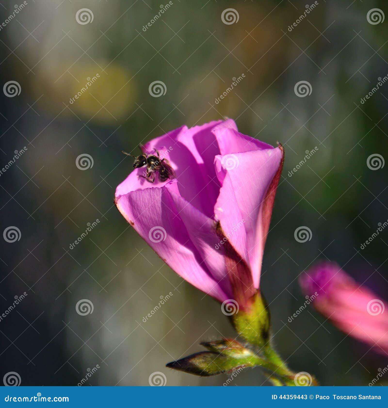 Piccola vespa dentro un fiore di ipomea