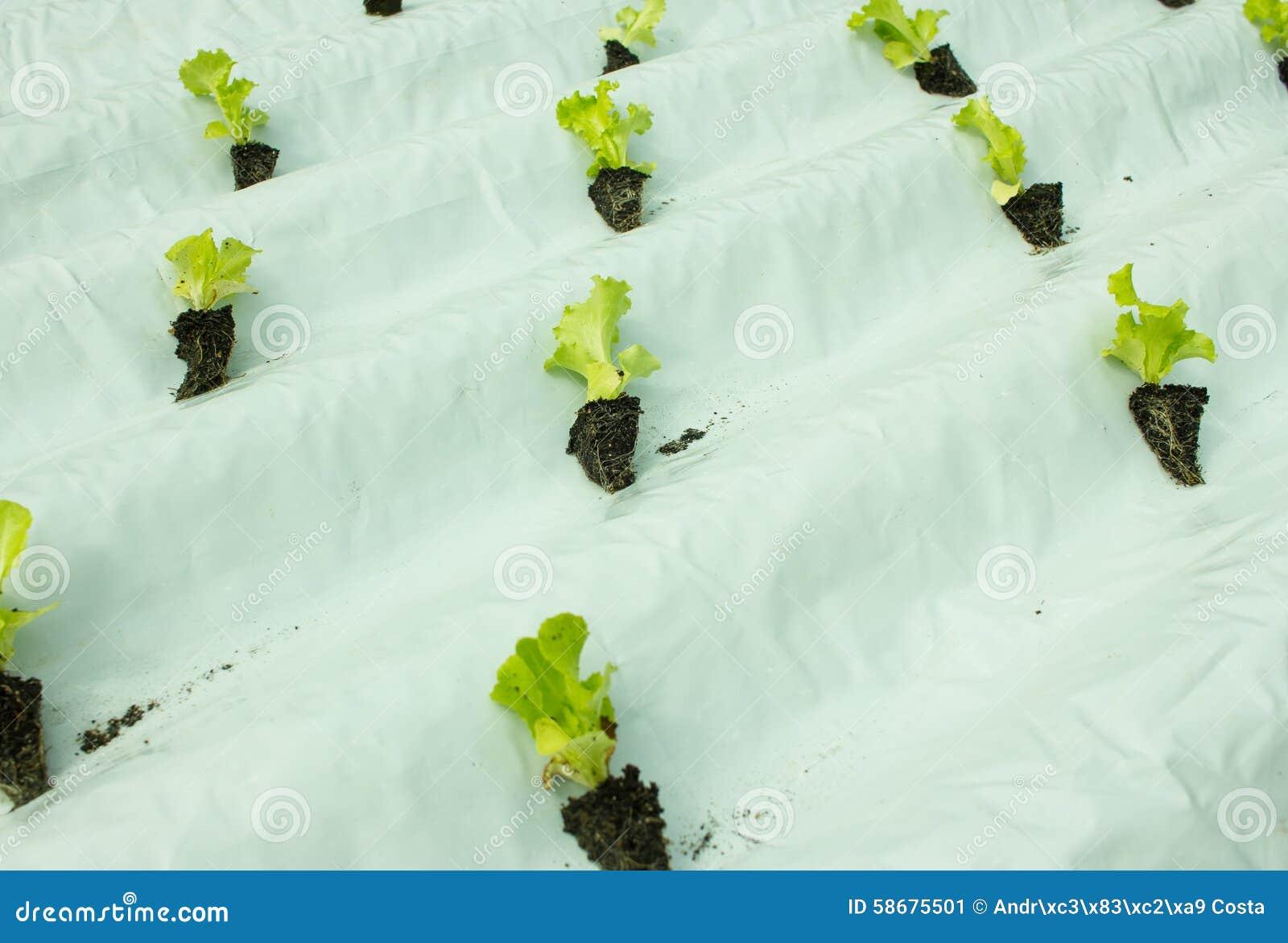 Piccole piante della lattuga che crescono nella cultura for Piccole piantine