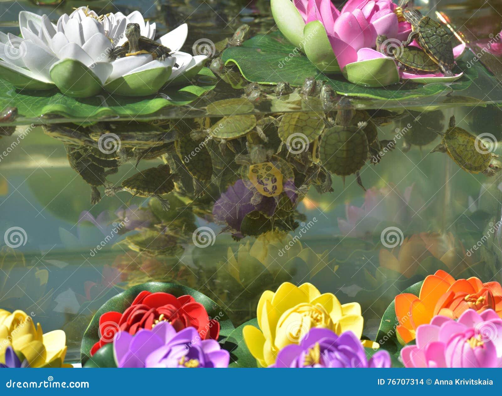 Piccole tartarughe nell 39 acquario fotografia stock for Prezzi acquario tartarughe