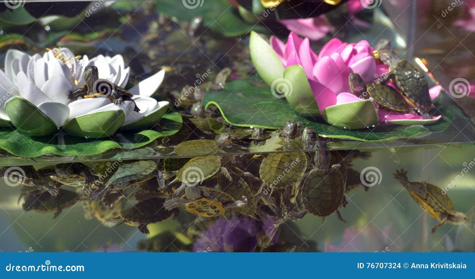 Piccole tartarughe nell 39 acquario fotografia stock for Acquario tartarughe prezzo