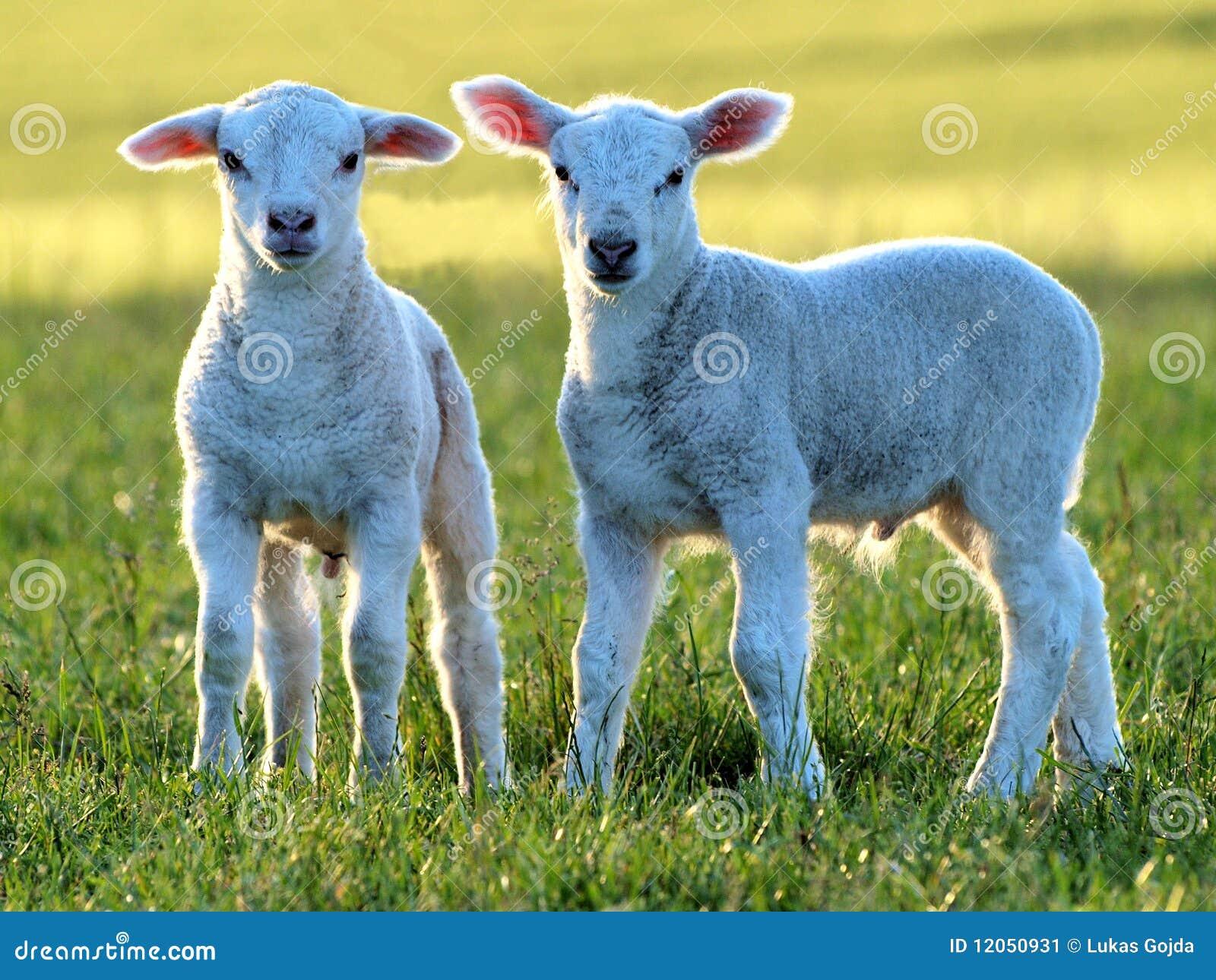 Piccoli agnelli svegli