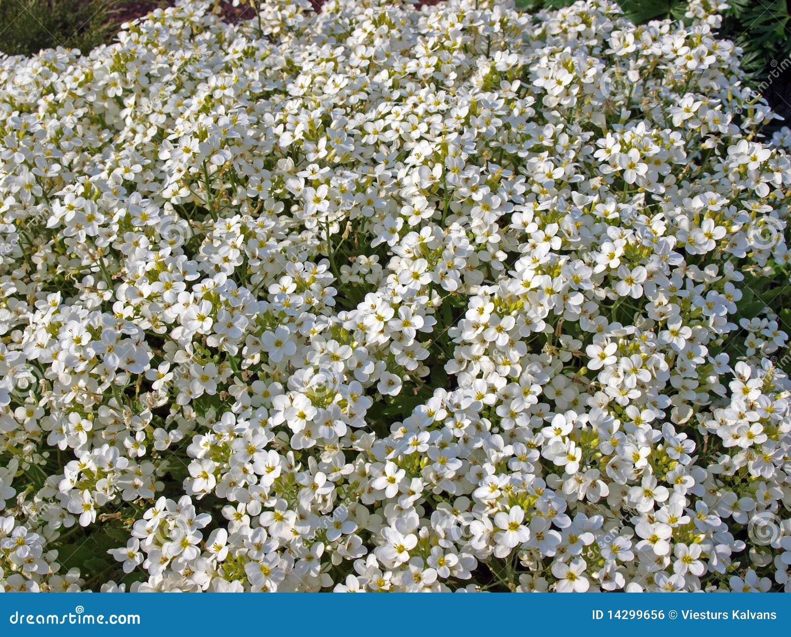 Piccoli fiori bianchi immagine stock libera da diritti for Fiori piccoli bianchi