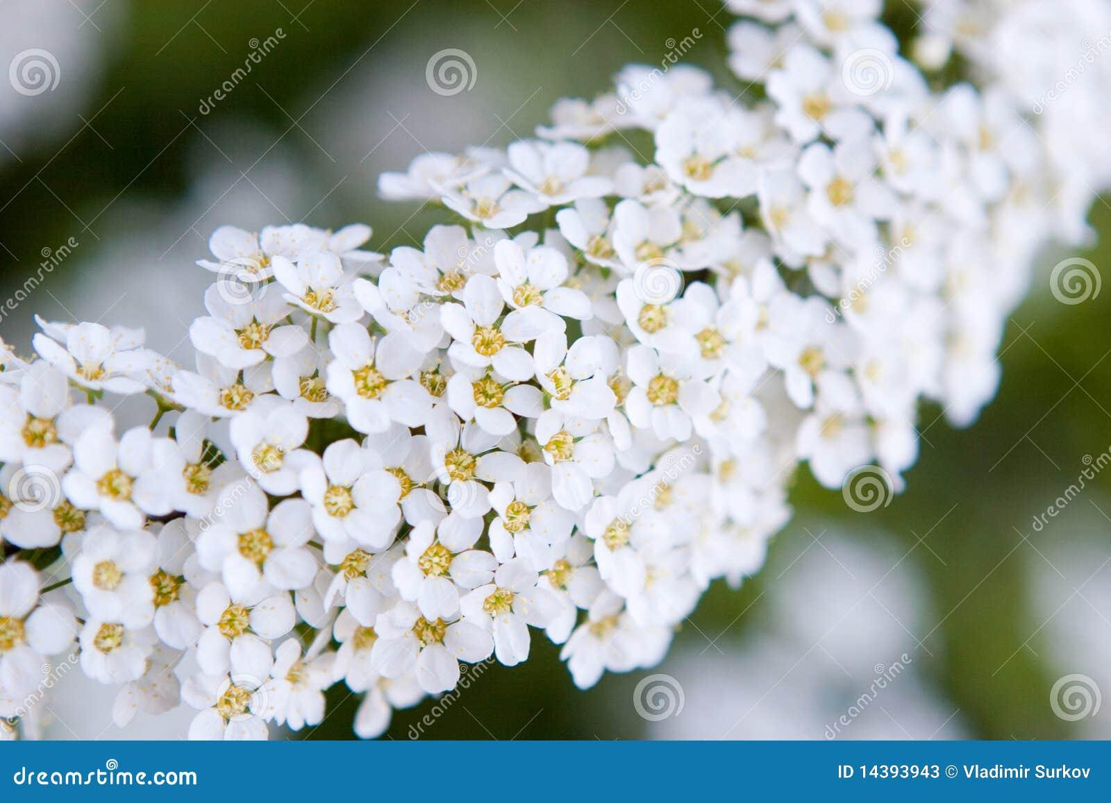 Piccoli fiori bianchi fotografie stock immagine 14393943 for Fiori piccoli bianchi