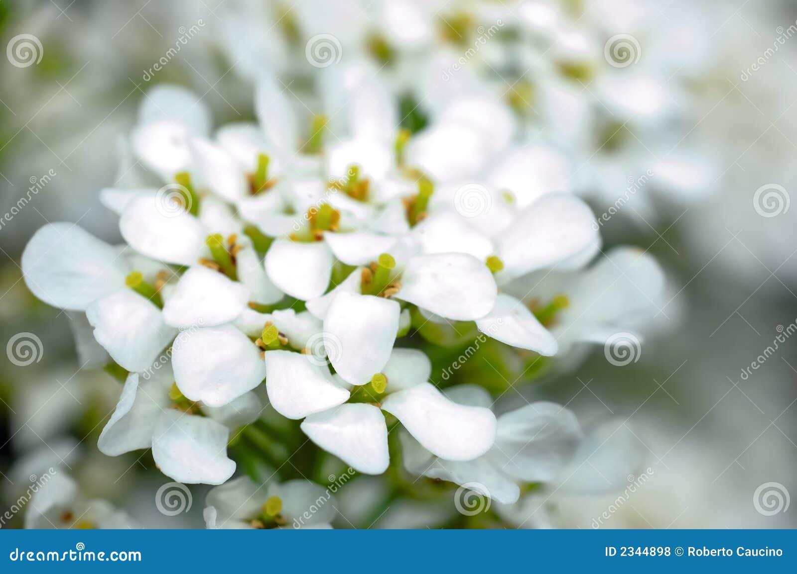 Piccoli fiori bianchi fotografie stock libere da diritti for Fiori piccoli bianchi