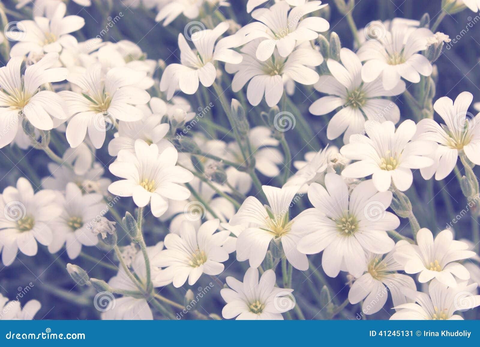 Piccoli Fiori Bianchi Fotografia Stock - Immagine: 41245131