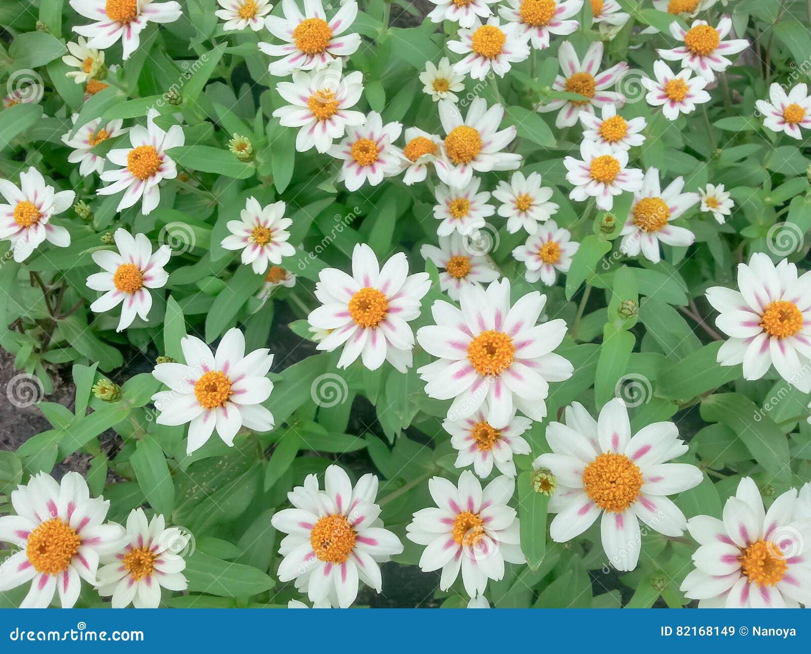 Piccoli fiori bianchi fotografia stock immagine 82168149 for Fiori piccoli bianchi