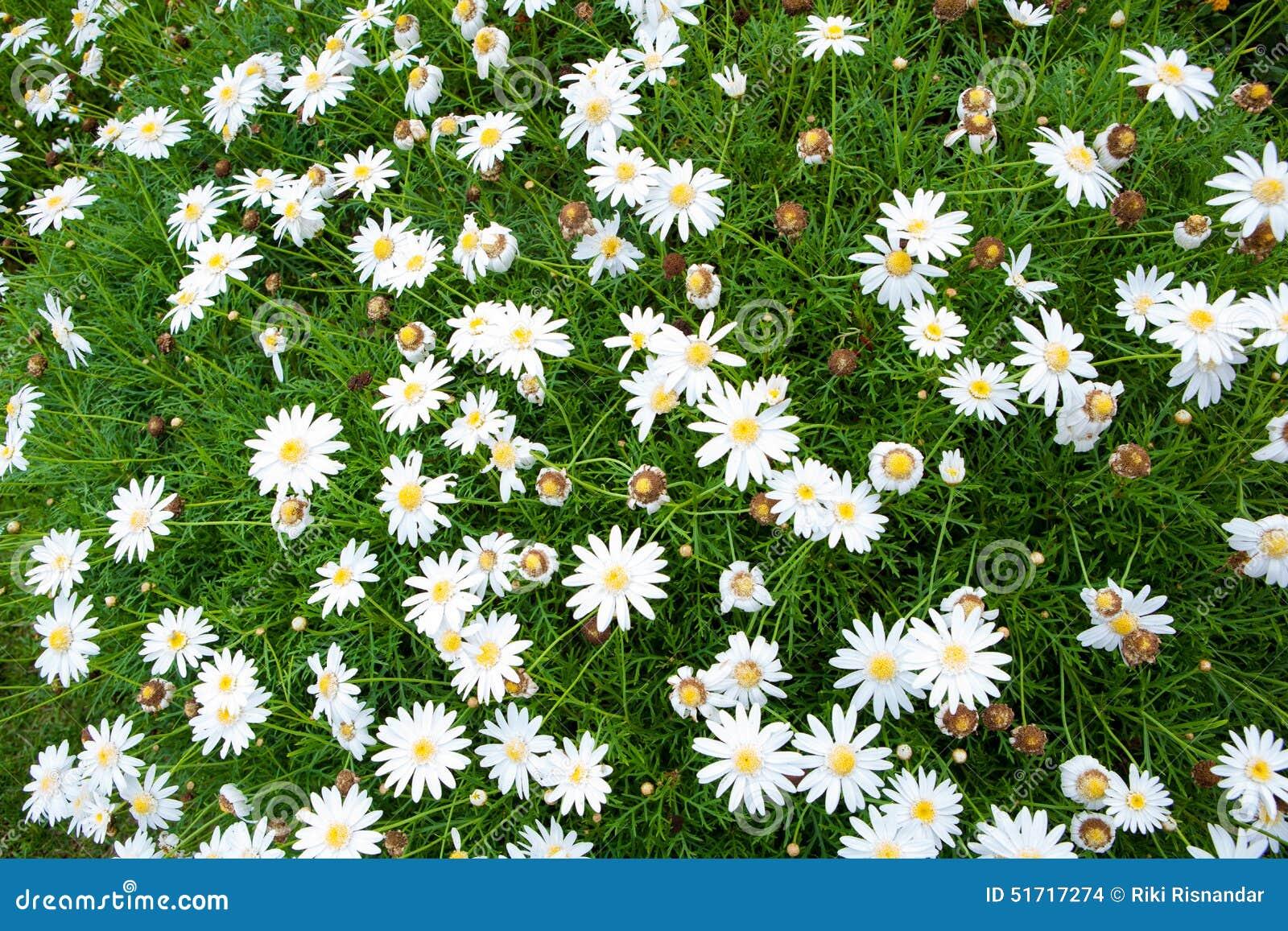 Piccoli Fiori Bianchi Della Natura Per Fondo Fotografia Stock - Immagine: 517...