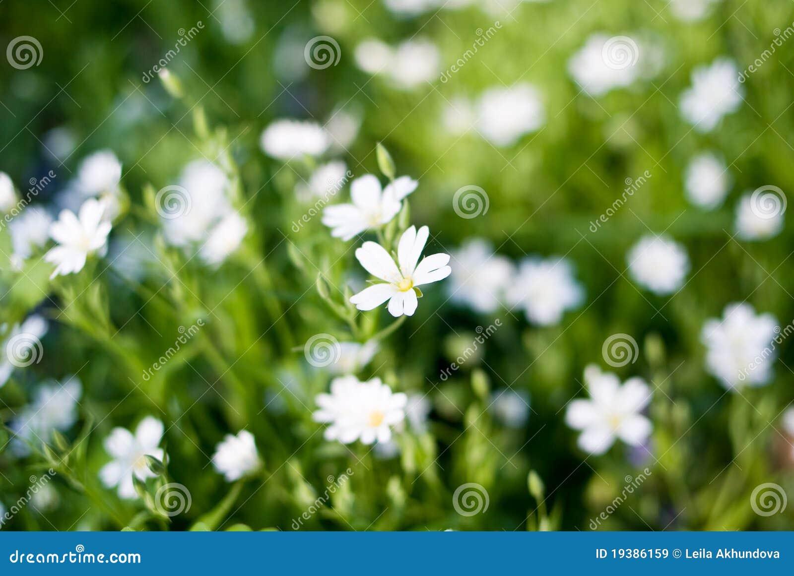 Piccoli fiori bianchi in fioritura immagine stock for Fiori piccoli bianchi