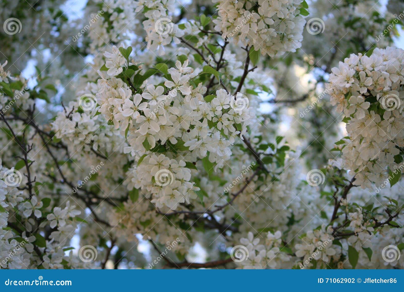 Albero Con Fiori Bianchi piccoli fiori bianchi su un albero fotografia stock