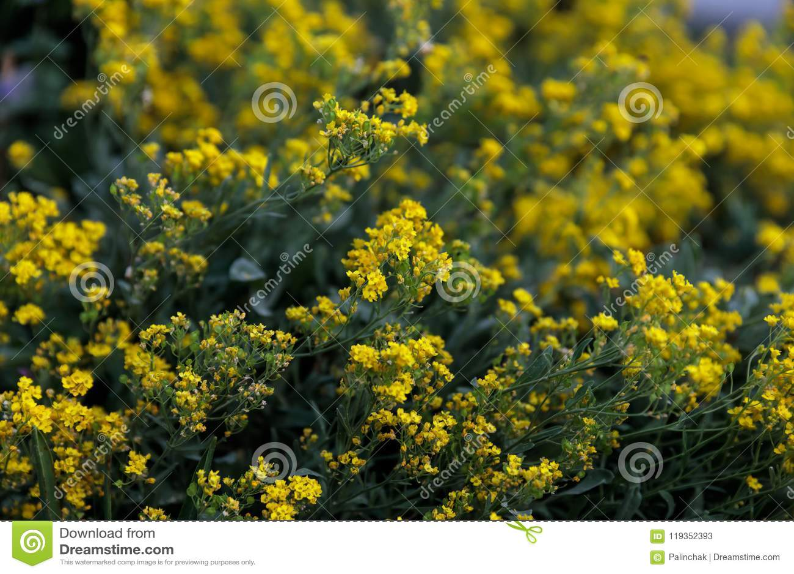 Nomi Di Fiori Gialli.Piccoli Fiori Gialli Di Tempo Di Saxatilis Di Aurinia In Primavera