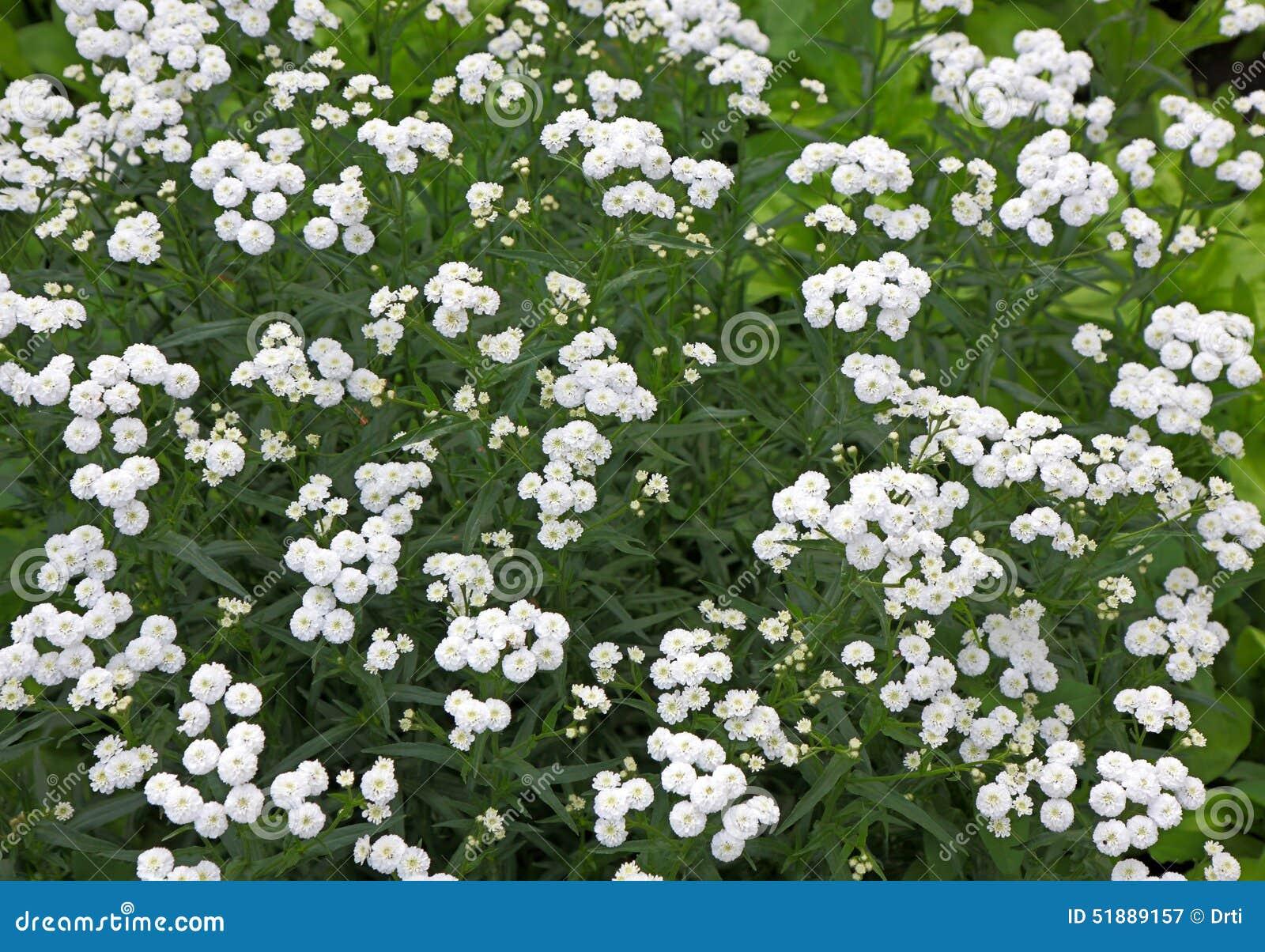 Piccoli fiori perenni bianchi del cespuglio immagine stock for Fiori piccoli bianchi