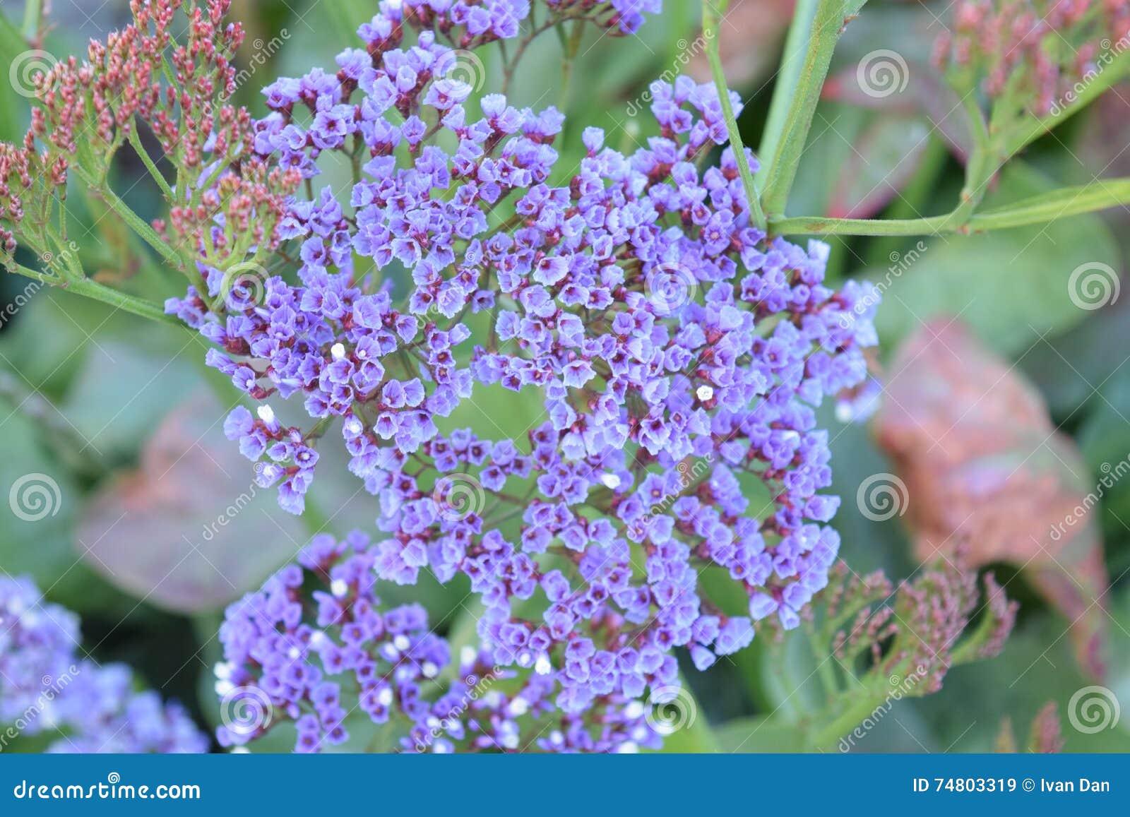 Piccoli Fiori Viola.Piccoli Fiori Viola Immagine Stock Immagine Di Background 74803319