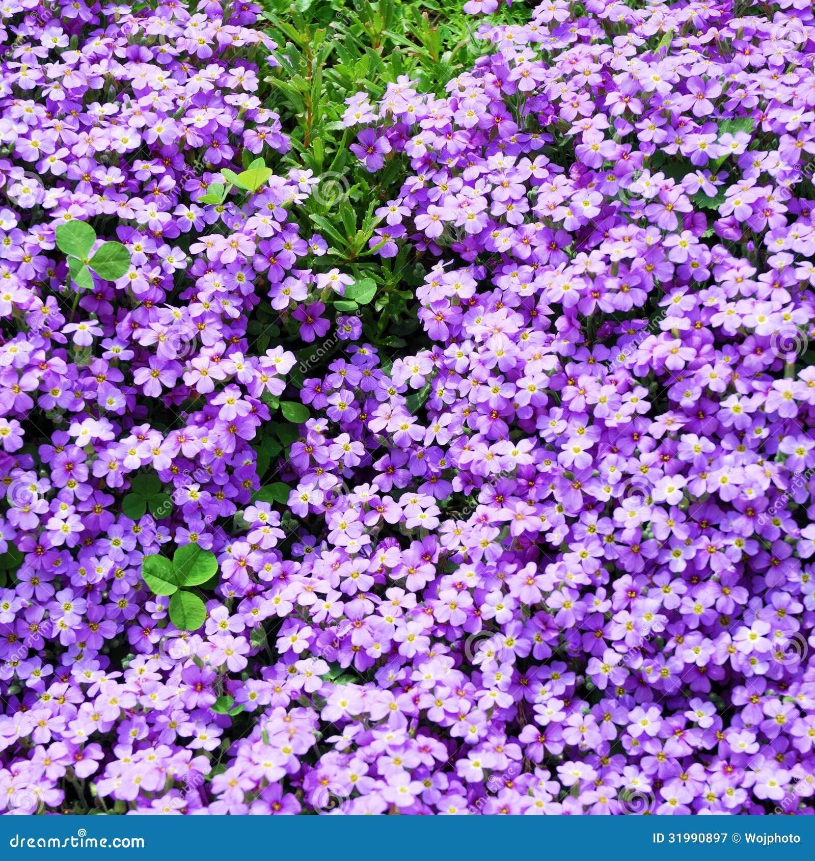 Piccoli fiori viola con i trifogli della tre foglia for Pianta rampicante con fiori viola a grappolo