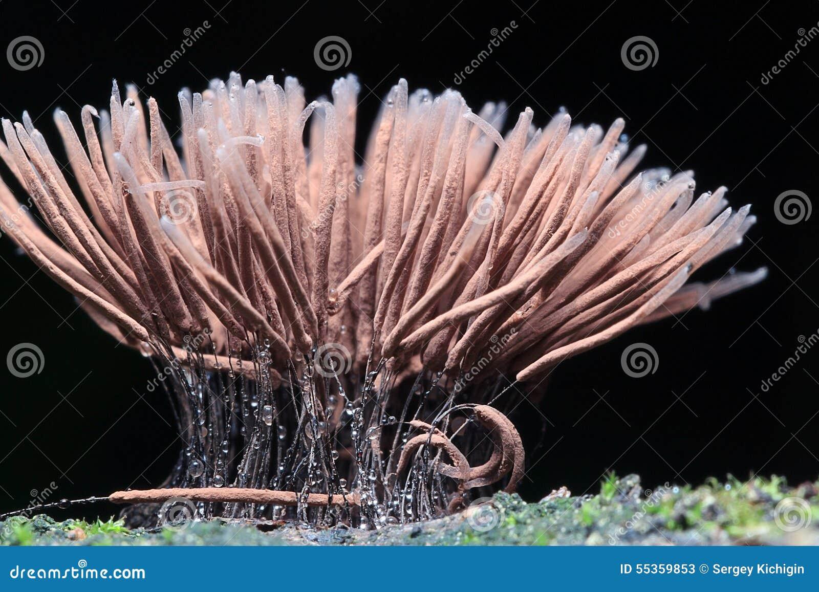 Piccoli funghi della muffa macro