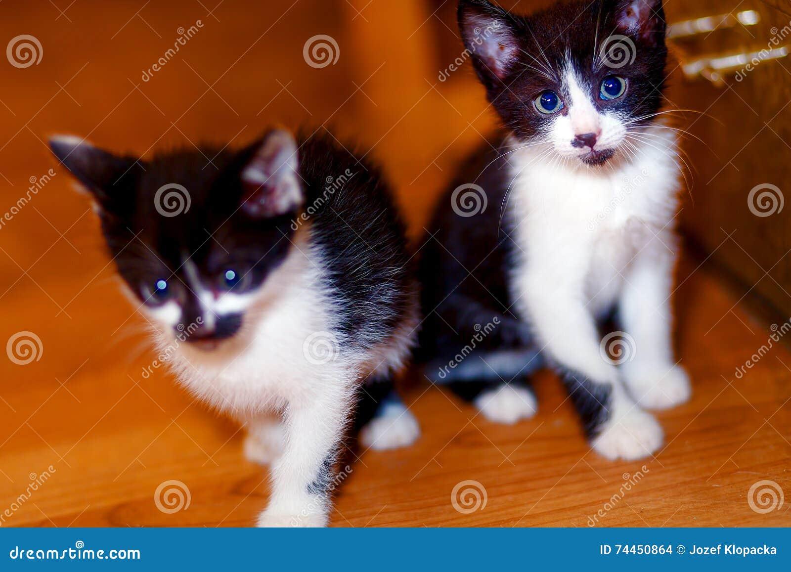 Piccoli Gattini Dolci Adorabili Sul Pavimento Di Legno Fotografia