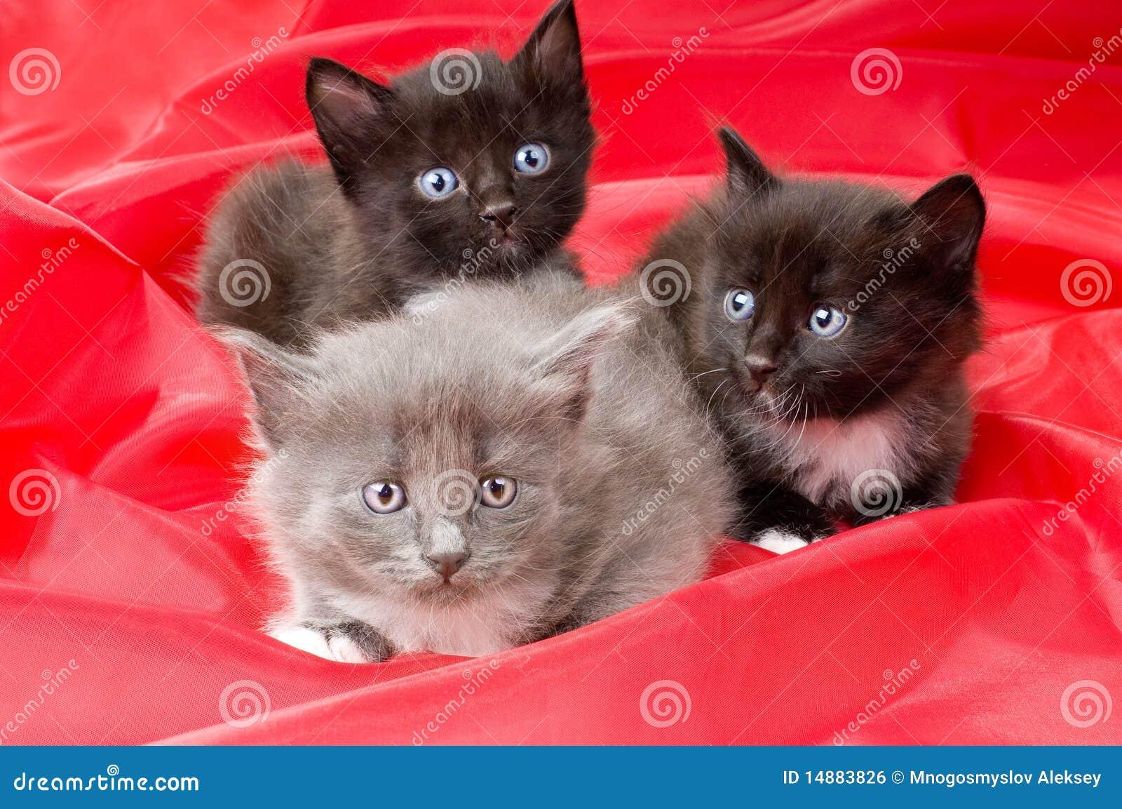 Piccoli gattini lanuginosi immagine stock libera da for I gattini piccoli