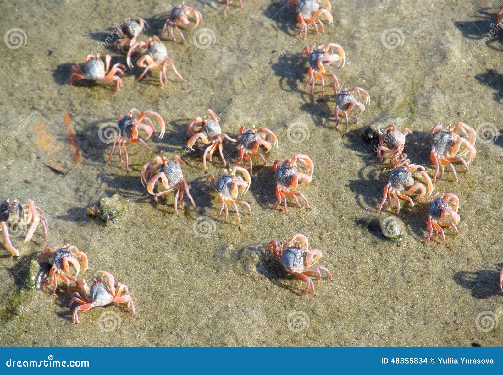 Piccoli granchi sulla spiaggia di sabbia dell 39 oceano for Piccoli piani cottage sulla spiaggia
