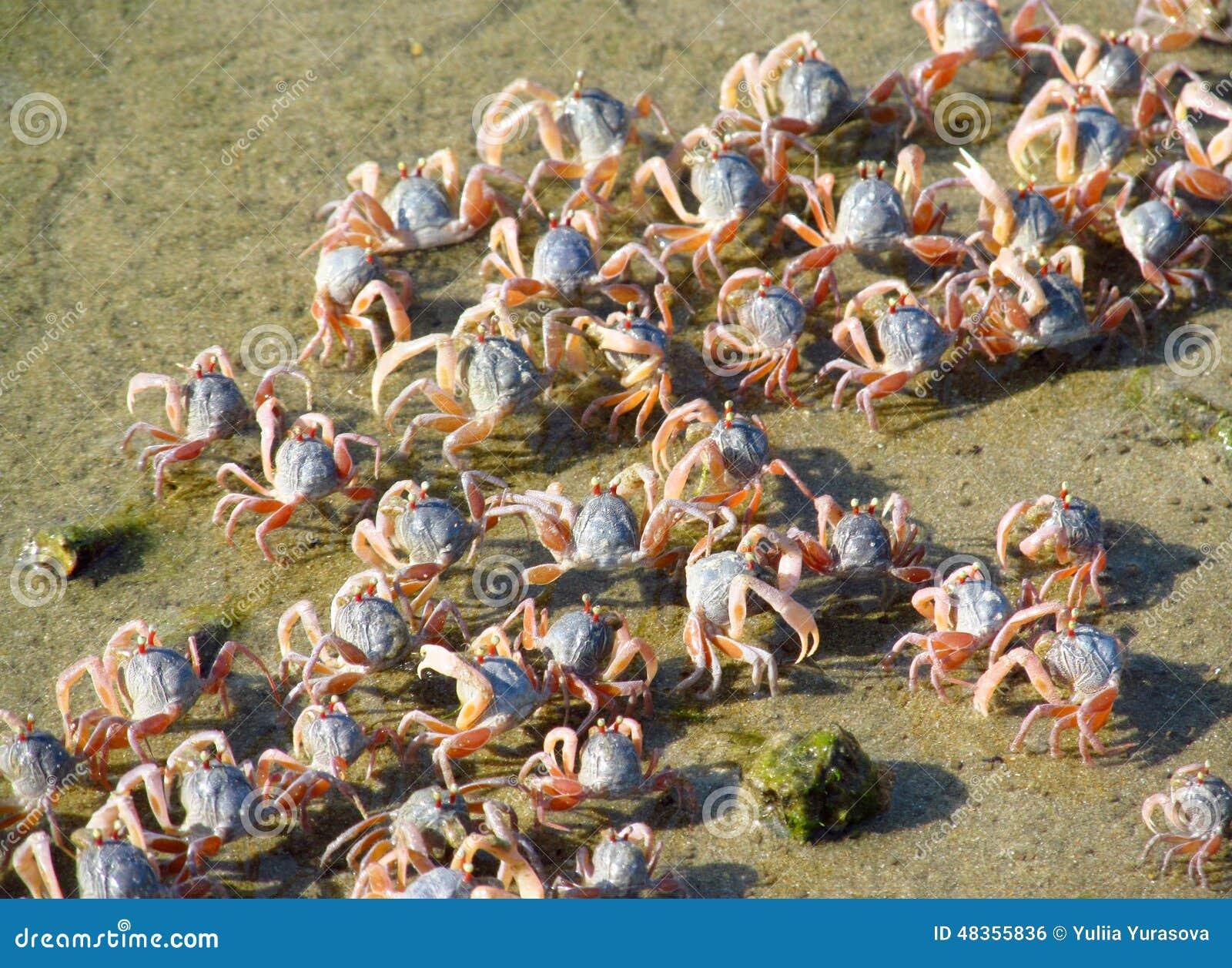 Piccoli granchi sulla spiaggia di sabbia dell oceano