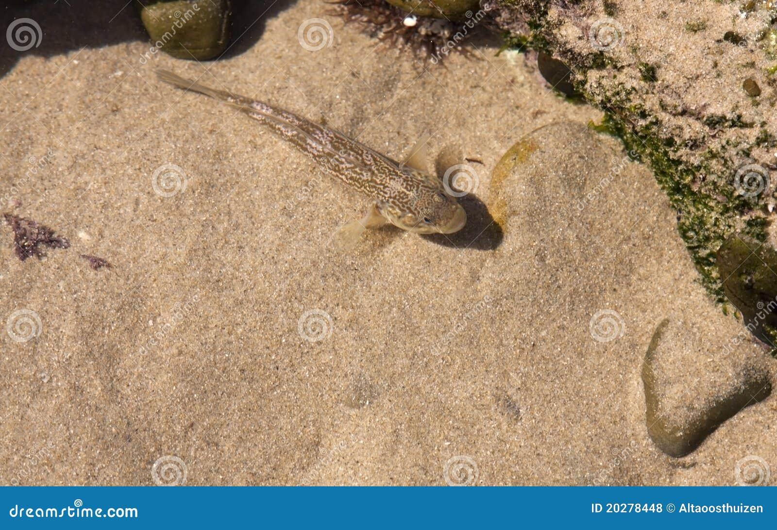 Piccoli pesci marroni in stagno sulla spiaggia fotografia for Piccoli piani cottage sulla spiaggia