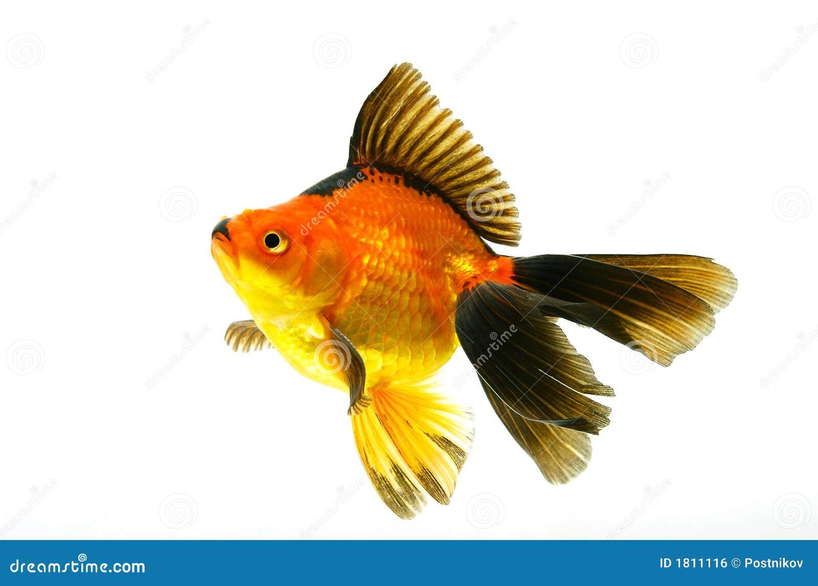 Piccoli pesci rossi isolati su bianco immagine stock for Piscina per pesci rossi