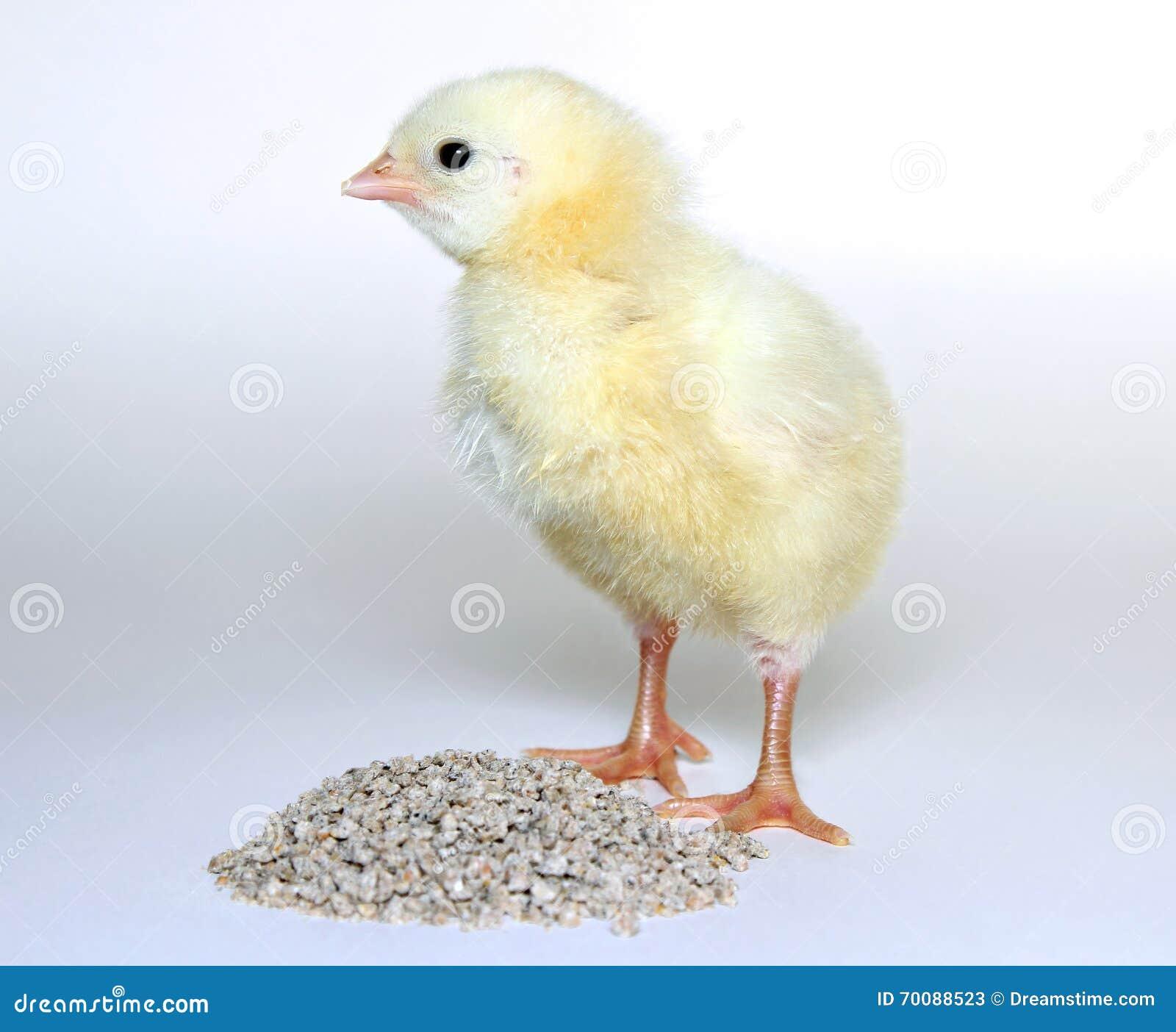 piccoli pulcini gialli degli uccellini implumi immagine
