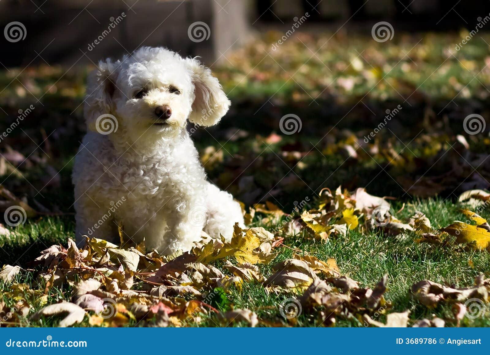Piccolo barboncino in autunno 4 fotografia stock - Barboncino piccolo ...