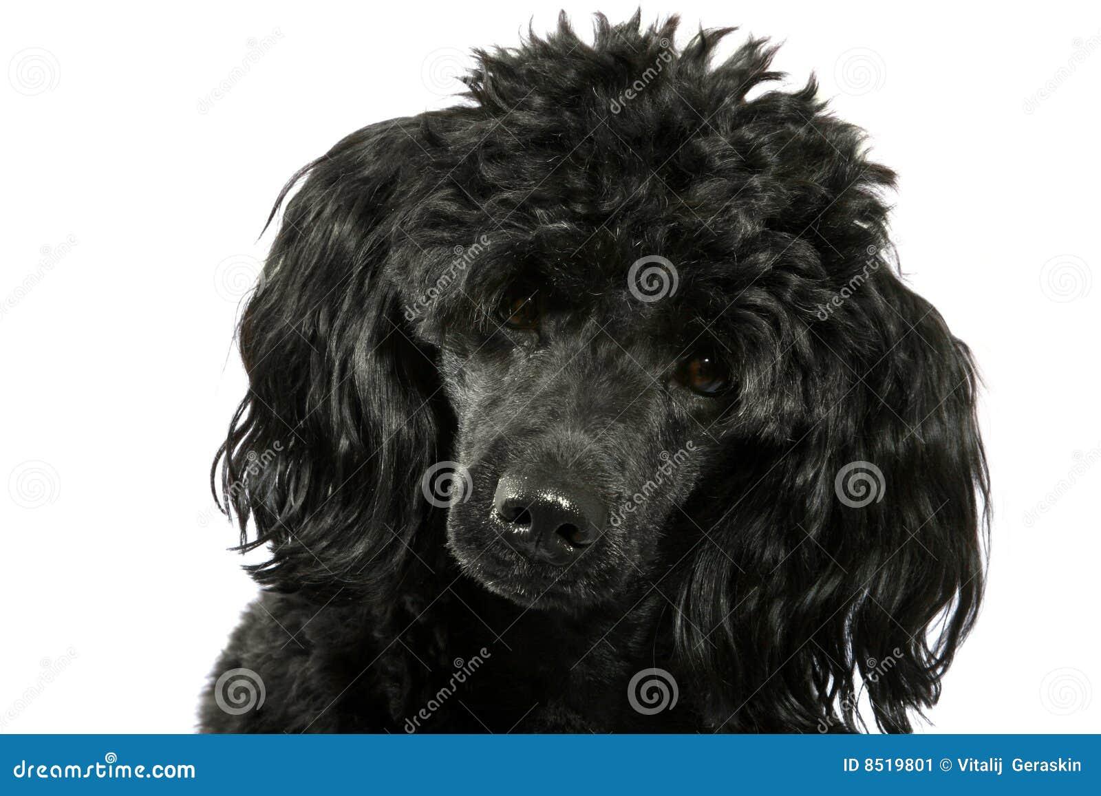 Piccolo barboncino nero immagine stock immagine di riccio - Barboncino piccolo ...