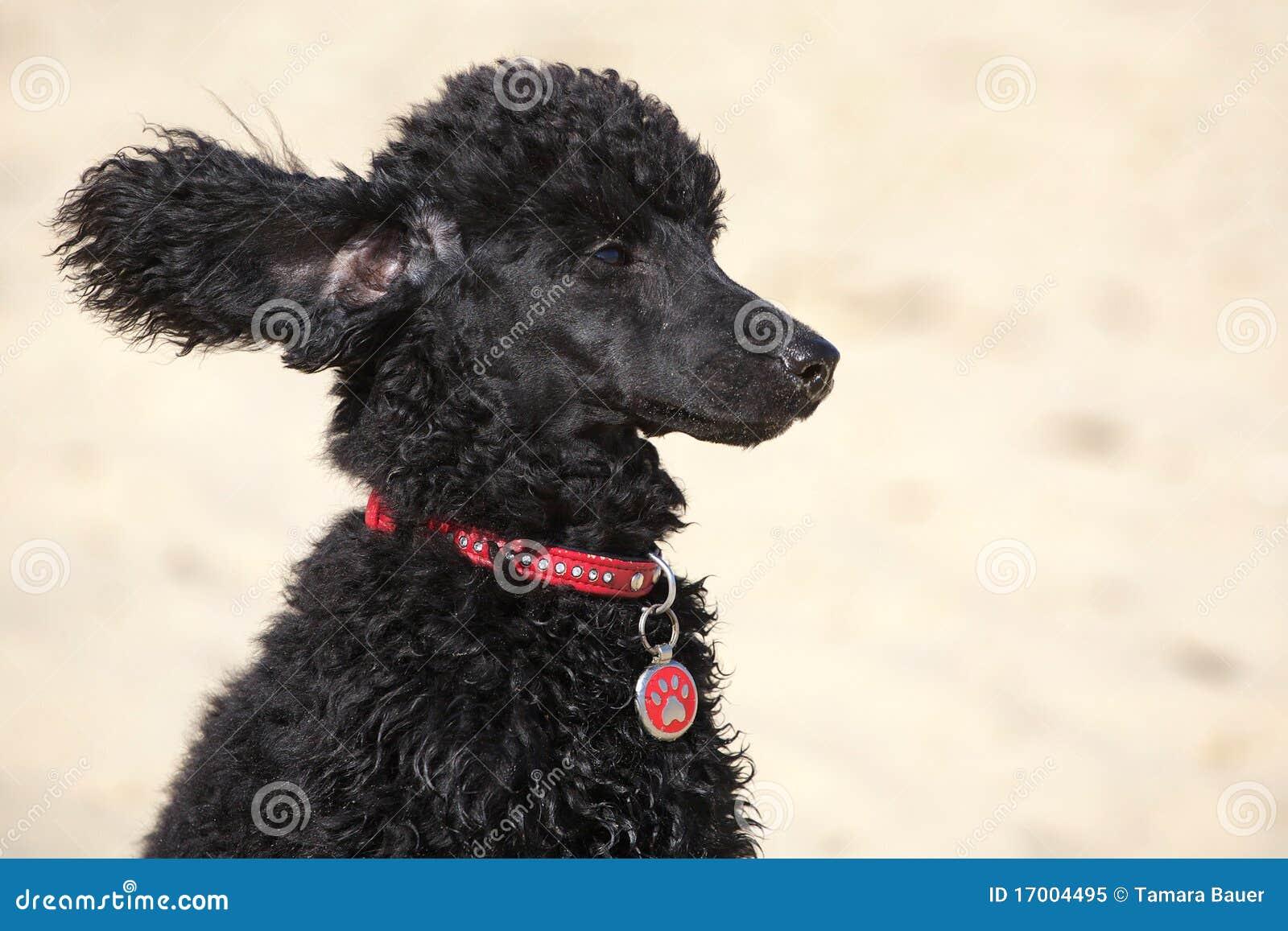Piccolo barboncino nero con le orecchie di volo immagine - Barboncino piccolo ...