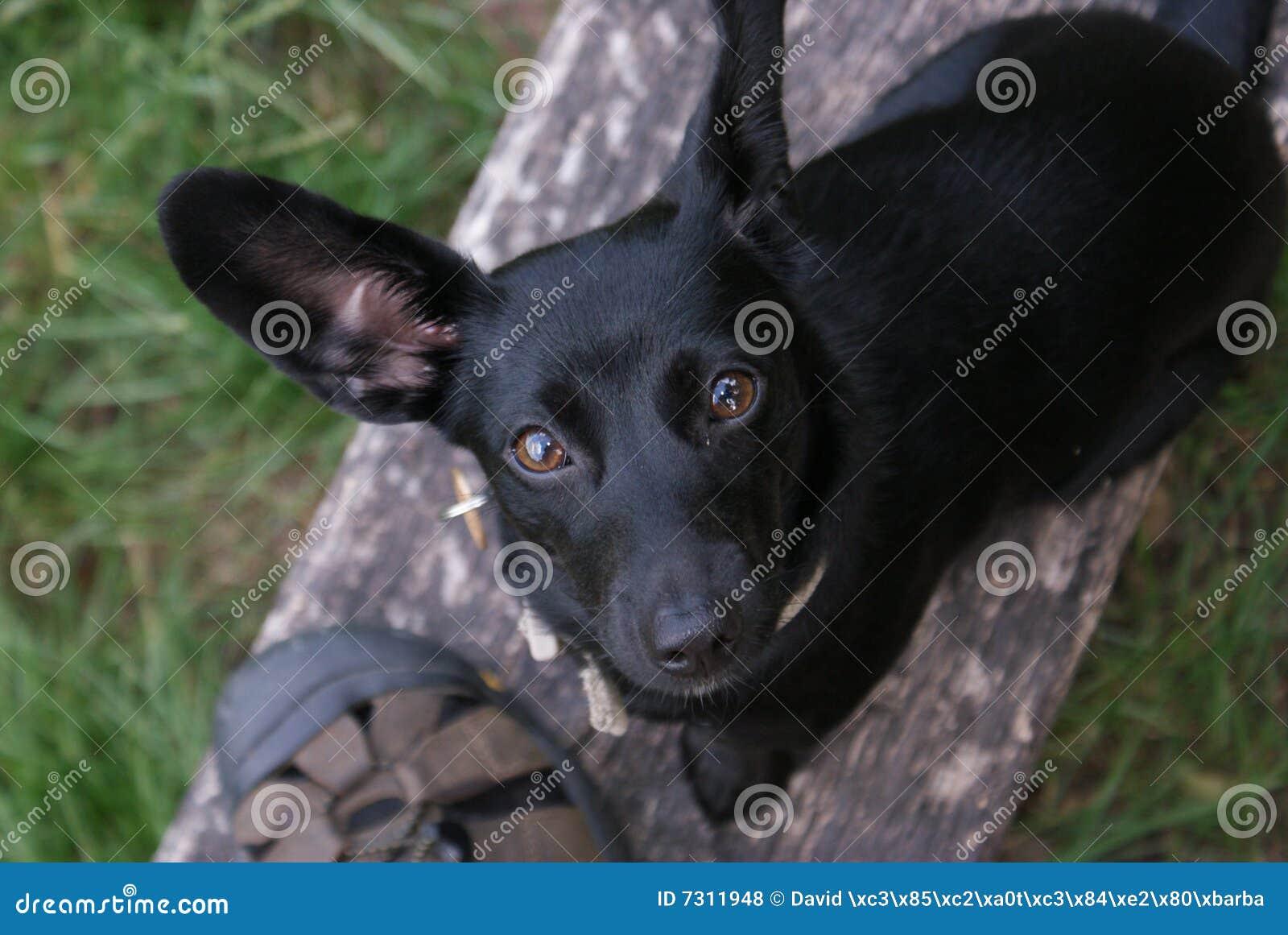 Piccolo cane nero