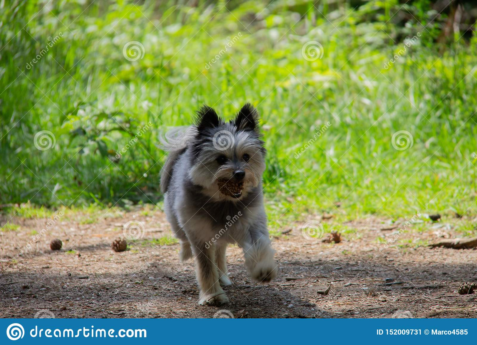 Piccolo cane Yorkshire e camminata pomerarian nella foresta che gioca con un ananas