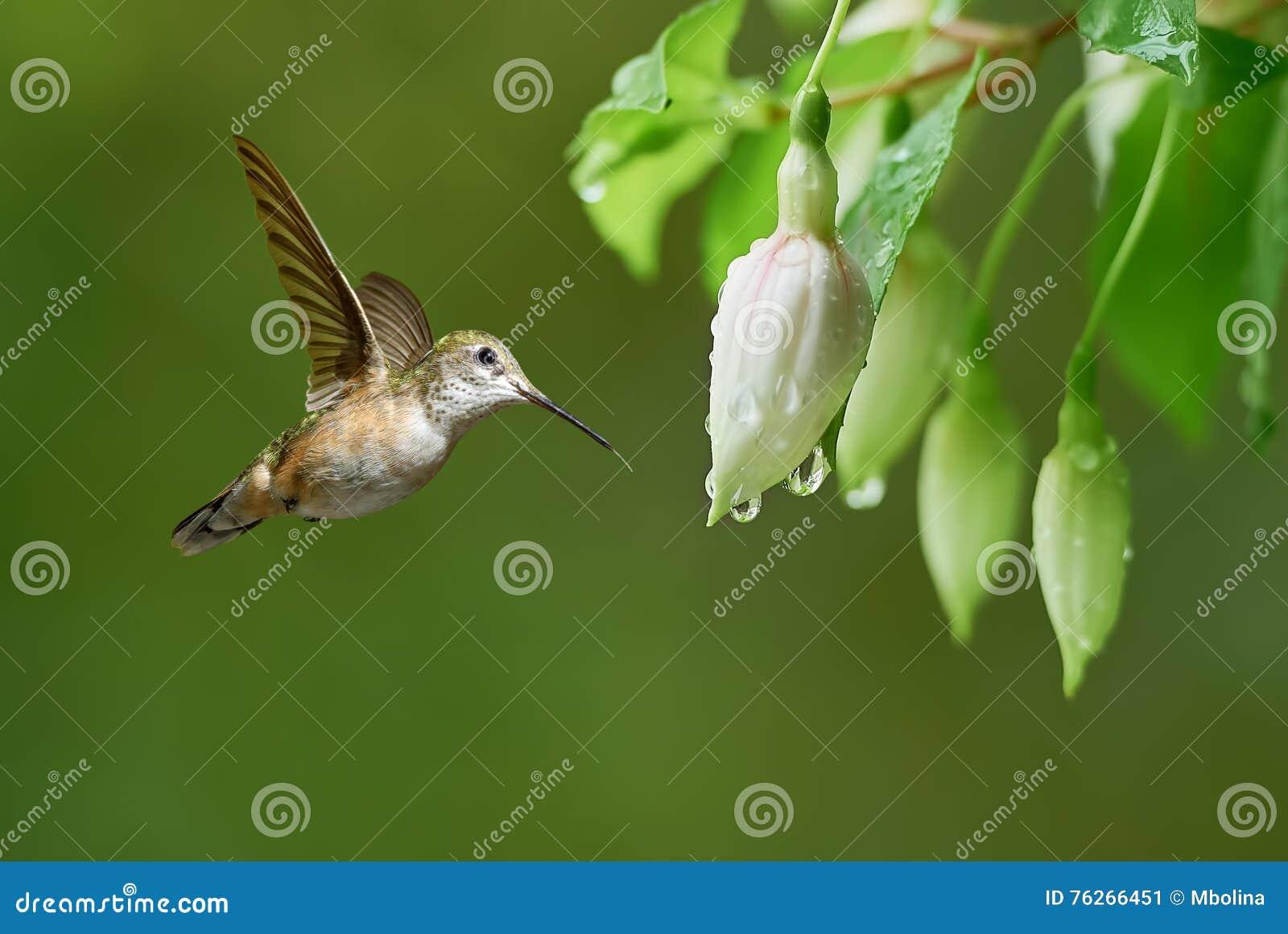 Piccolo colibrì variopinto con le piume iridescenti