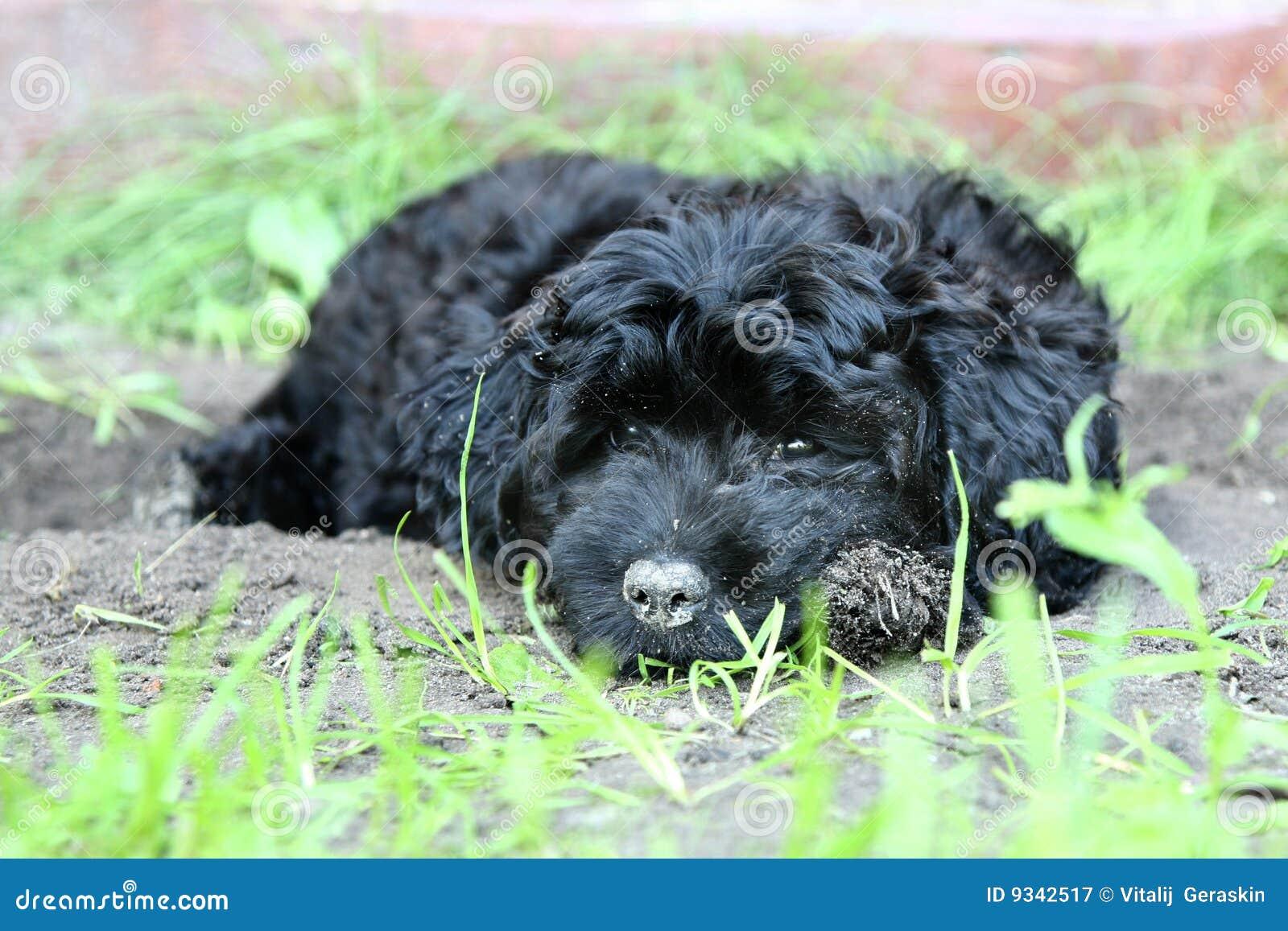 Piccolo cucciolo del barboncino immagine stock immagine - Barboncino piccolo ...