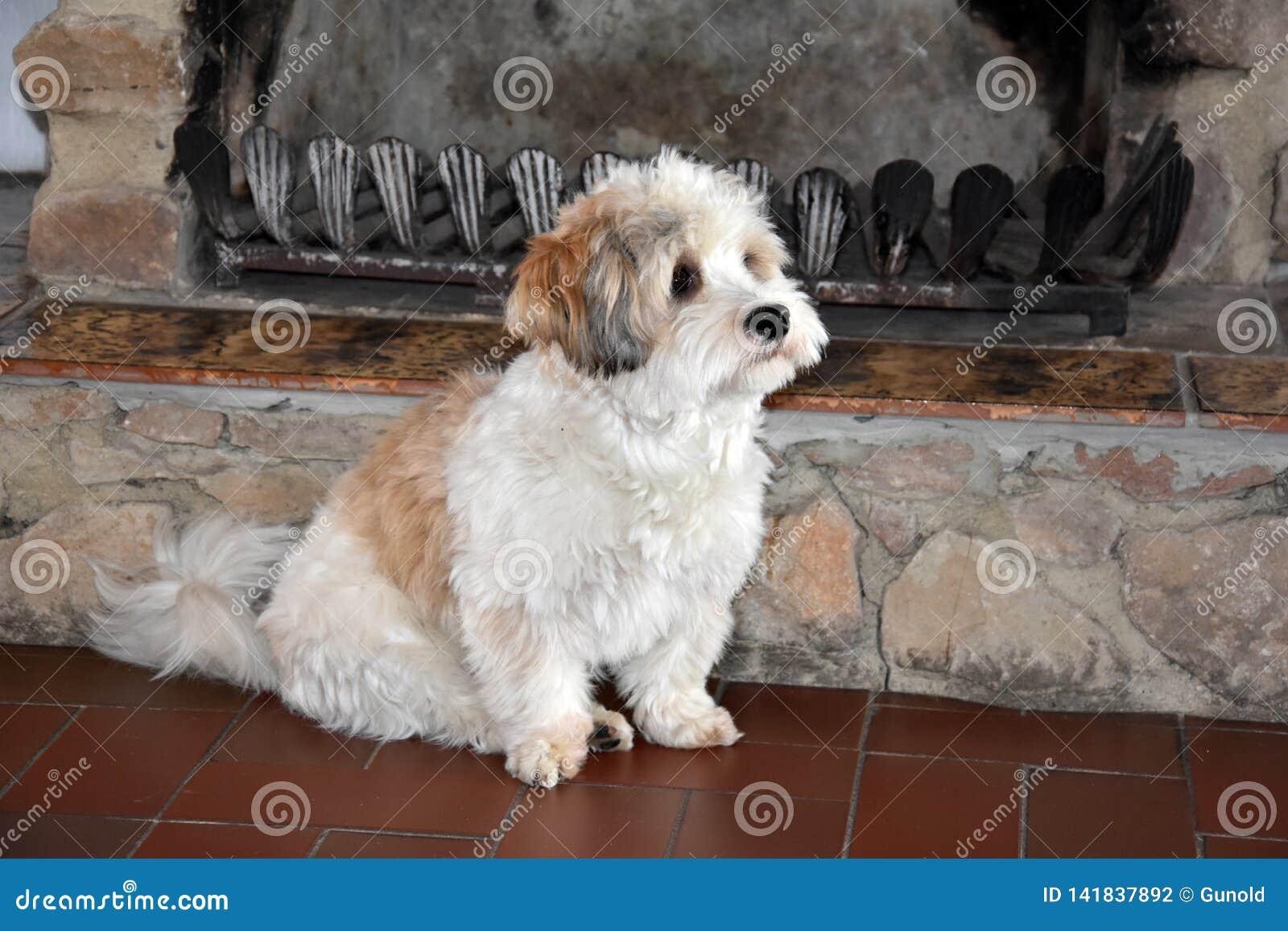 Piccolo cucciolo havanese sta aspettando qualcuno per giocare con lui