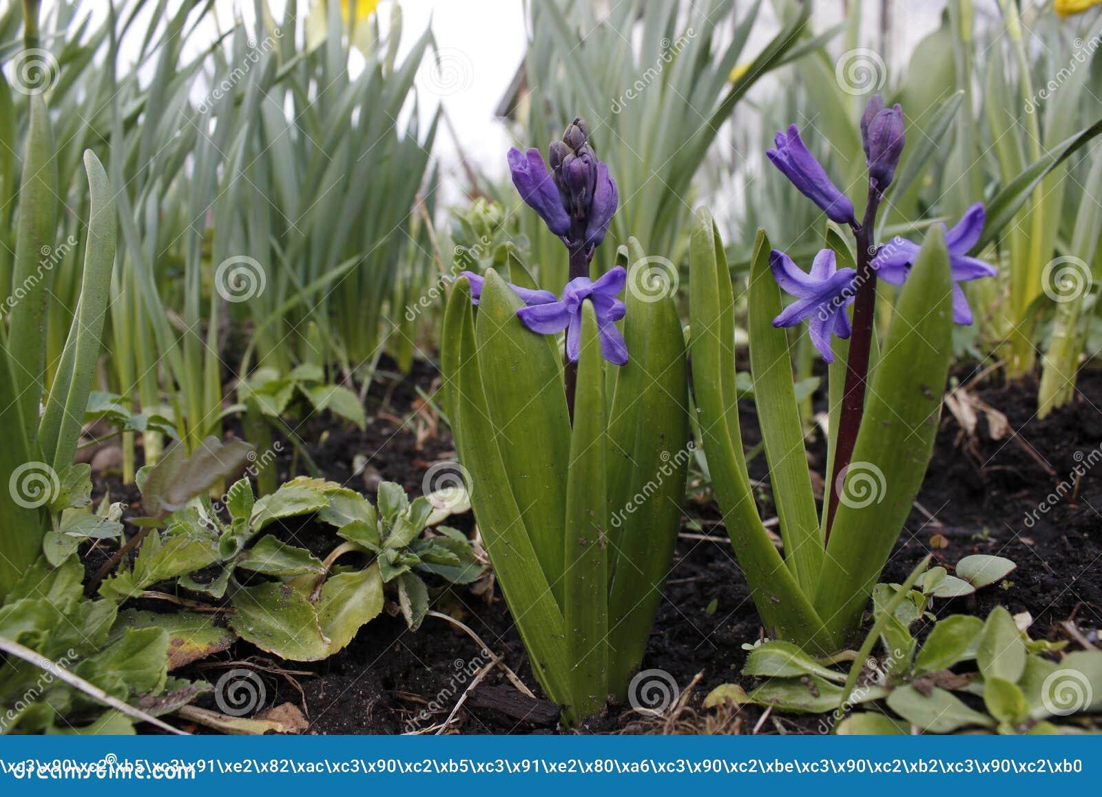 Piccolo flovers porpora in primavera
