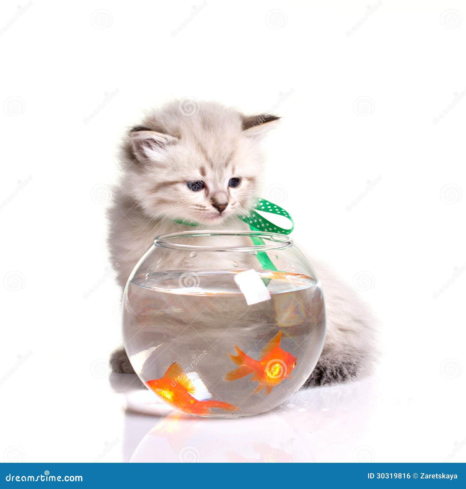 Piccoli gattino e pesci rossi fotografia stock immagine for Pesci per acquario piccolo