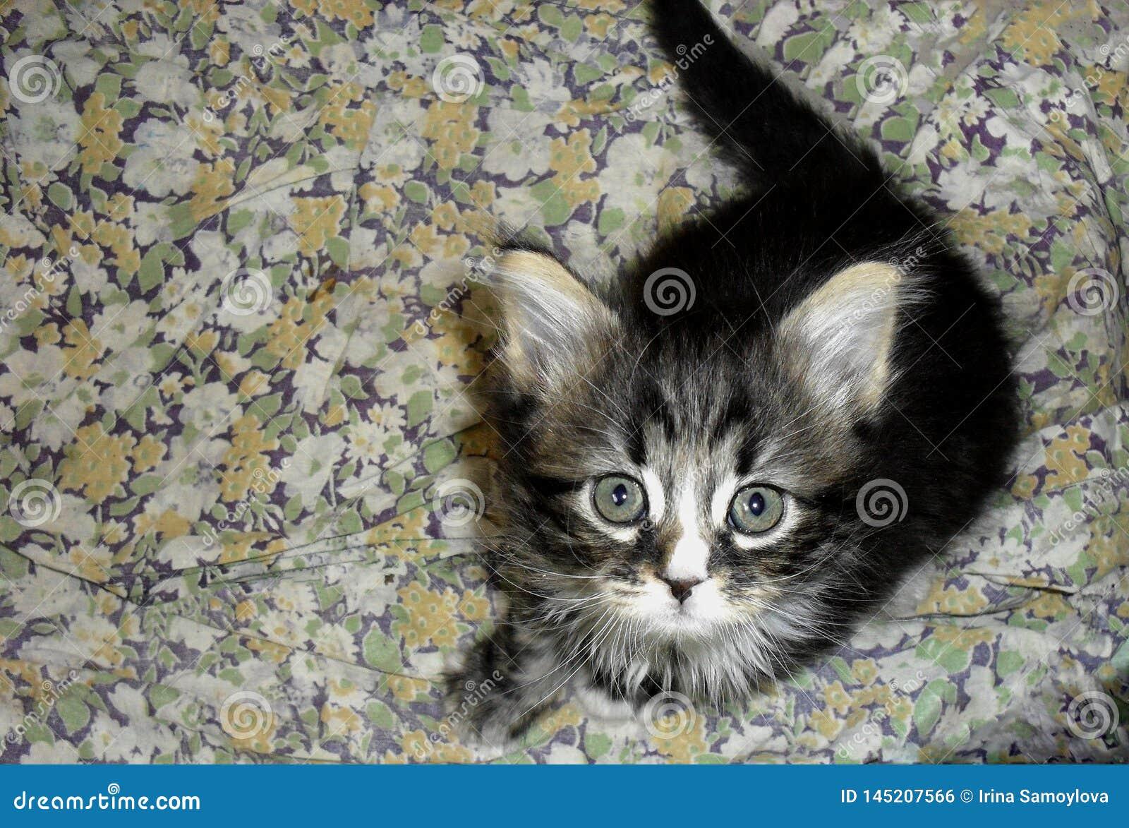 Piccolo gattino lanuginoso grigio a strisce sveglio adorabile