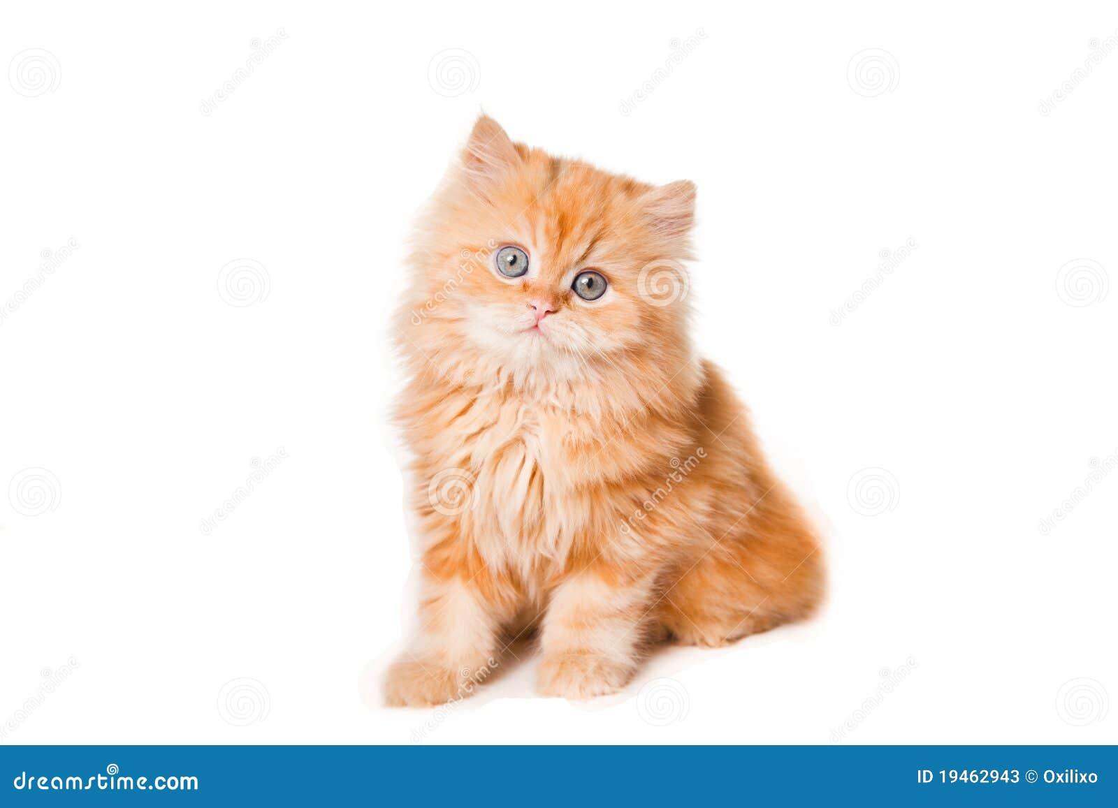 Piccolo Gattino Persiano Rosso Immagine Stock Immagine Di Isolato
