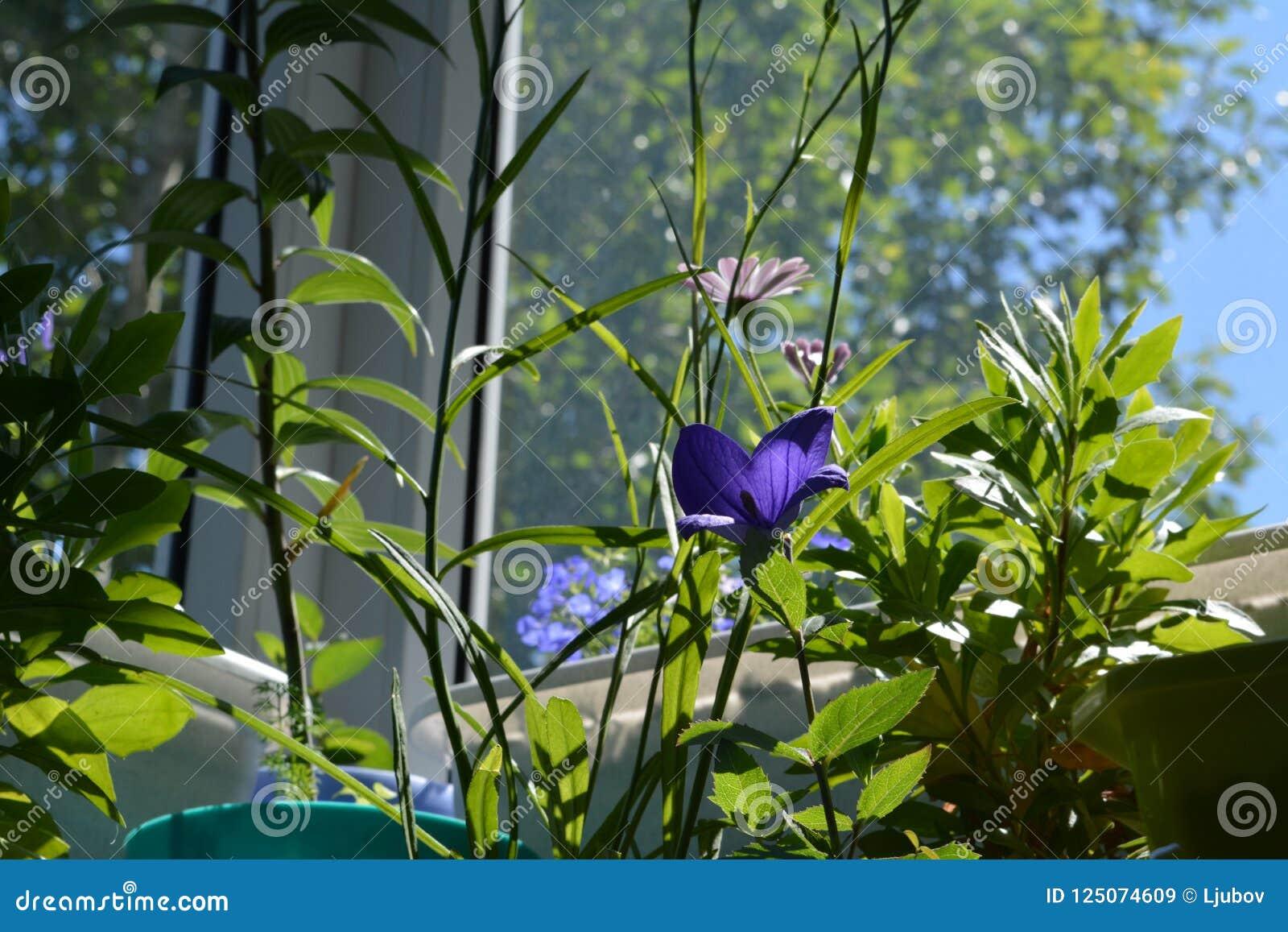 Piccolo Giardino Sul Balcone : Piccolo giardino sveglio sul balcone con il fiore il osteospermum