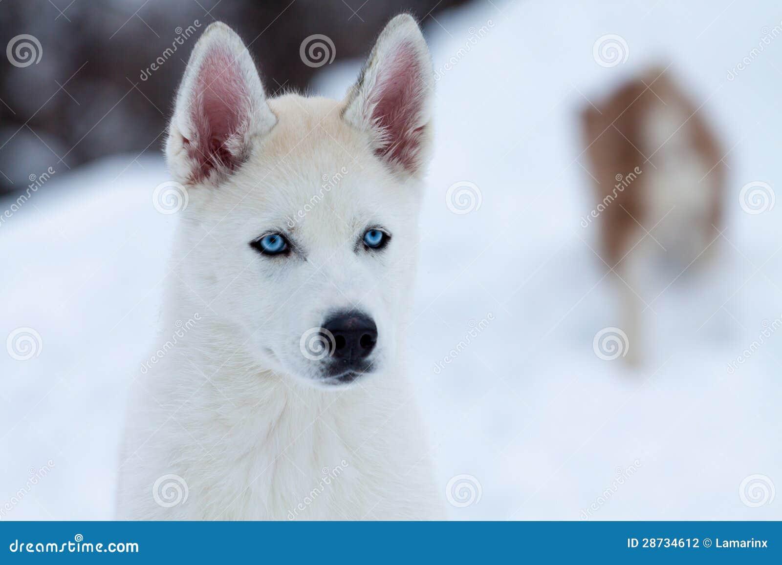 Piccolo husky bianco con gli occhi azzurri fine su - Husky con occhi diversi ...