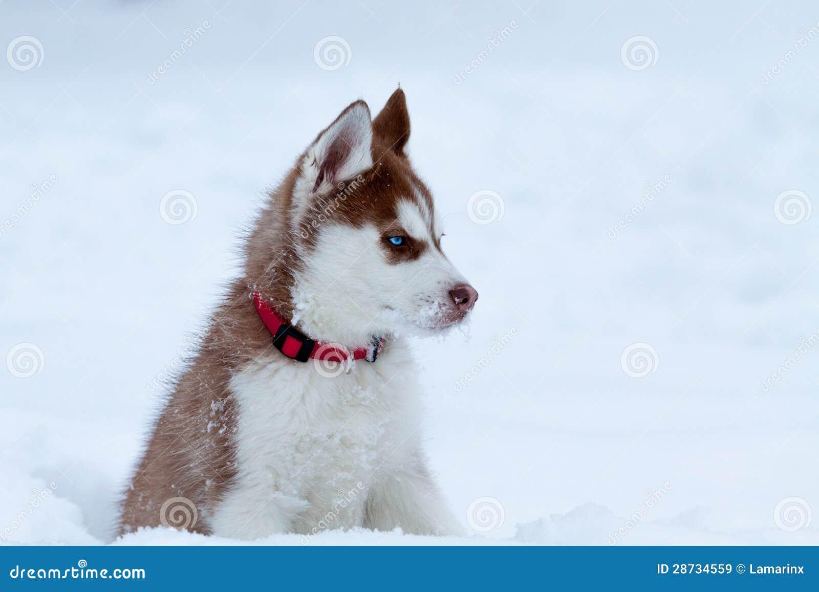 Piccolo husky nella neve con i chiari occhi azzurri immagine stock immagine di puppy doggy - Husky con occhi diversi ...