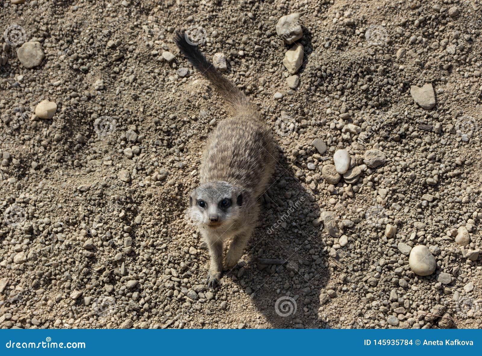 Piccolo meerkat sveglio in zoo