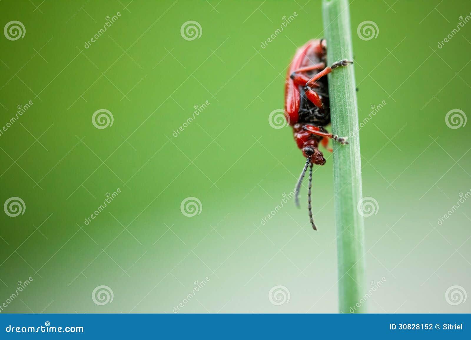 Piccolo merdigera di Crioceris dello scarabeo