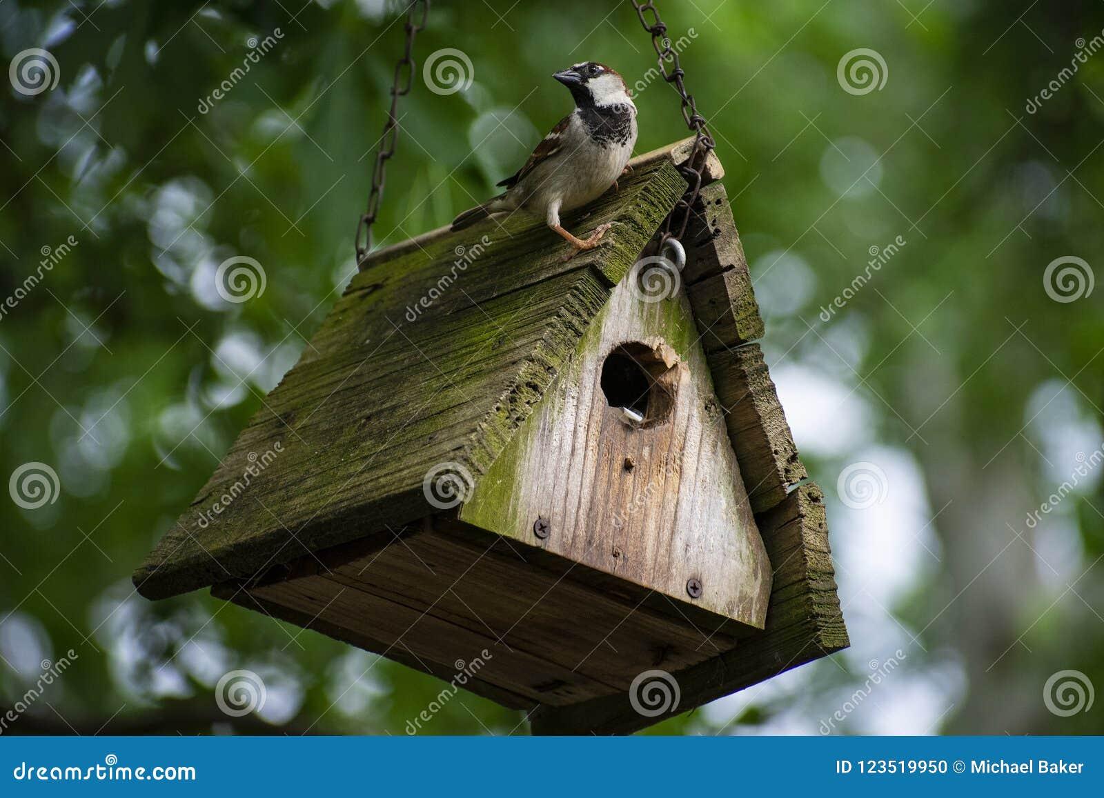 Piccolo passero maschio appollaiato sopra il suo tetto