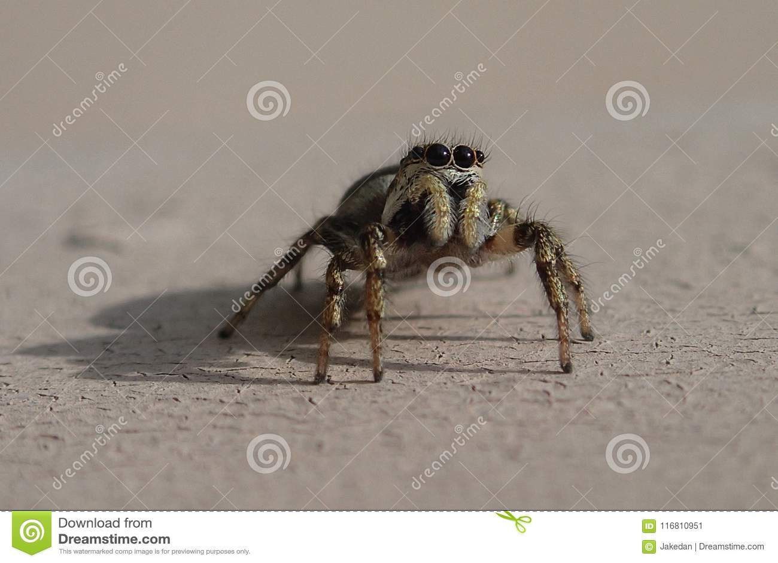 Piccolo ragno di salto a strisce su una parete del metallo