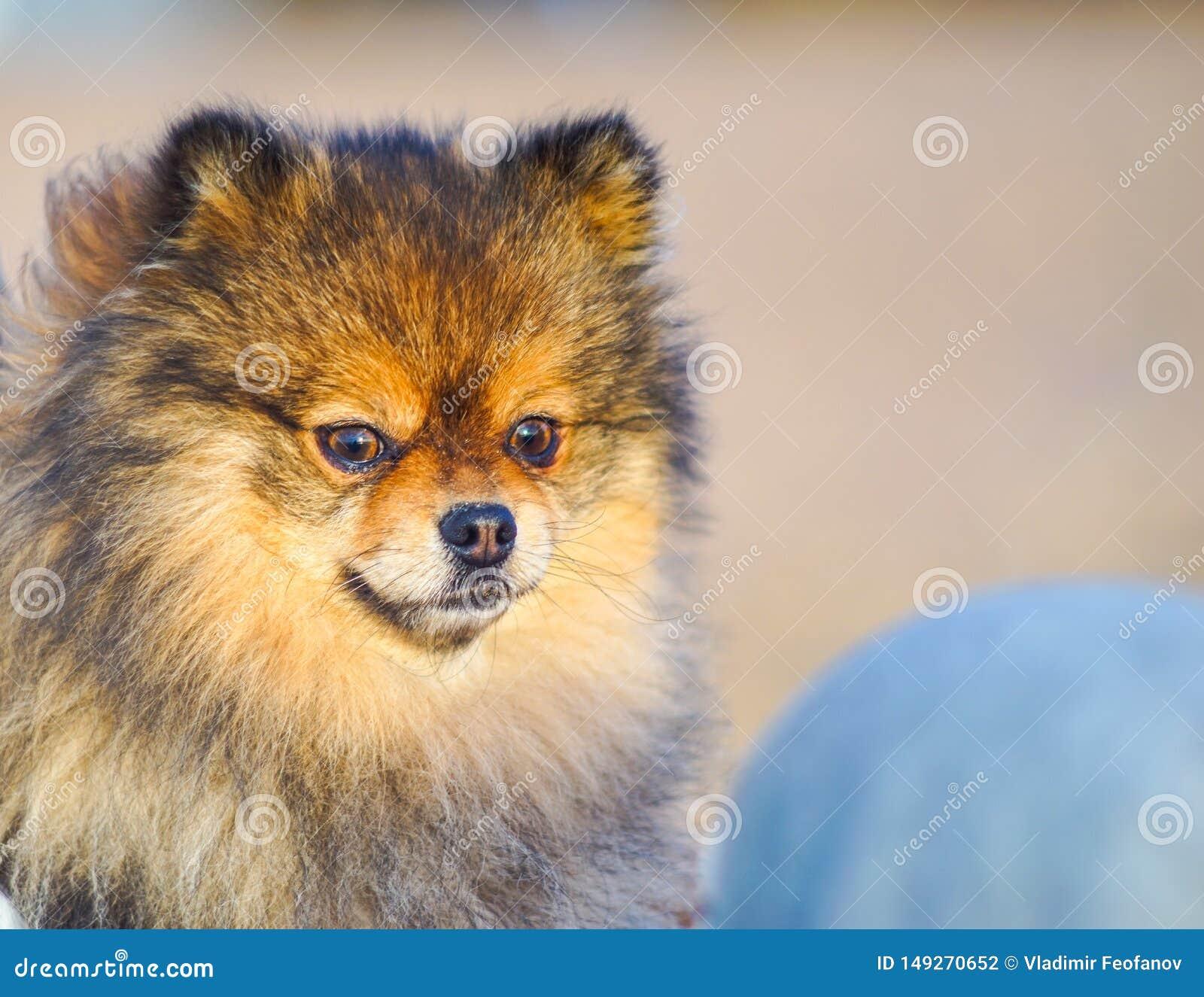 Piccolo Spitz del cucciolo sui precedenti della sabbia e della spiaggia nelle armi della sua piccola padrona, cane sorridente div