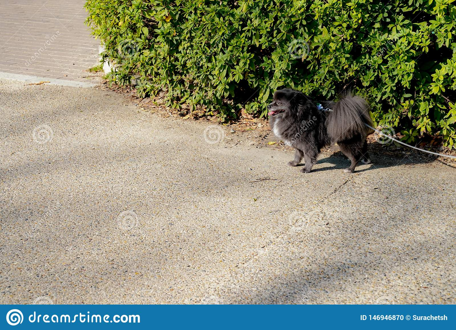 Piccolo spitz nero - pomeranian con la linea della corda, sta corrispondendo ad aspettare qualcosa al parco all aperto