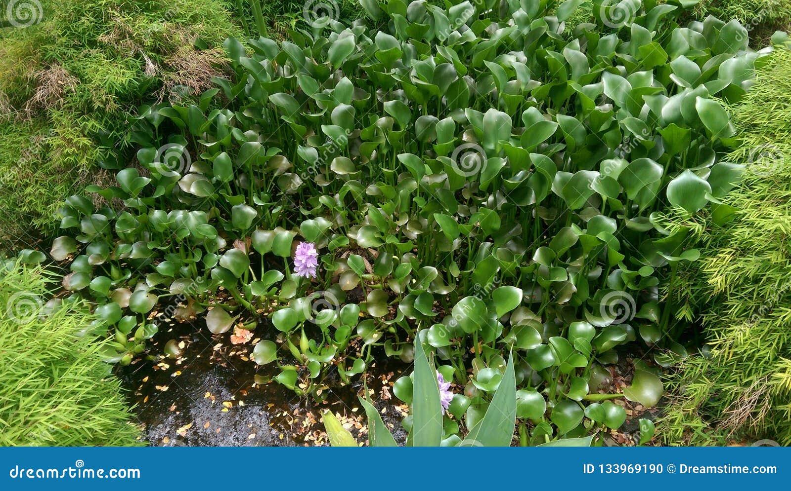 Piccolo stagno con il fiore porpora