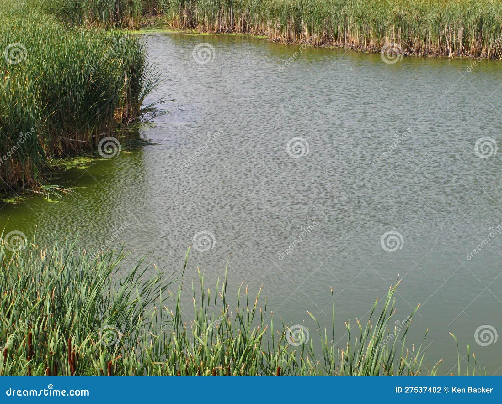 piccolo stagno di acqua con i giunchi fotografia stock